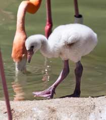 baby-flamingo1